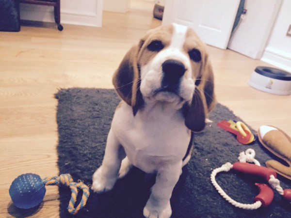 Troublesome Beagle Pup