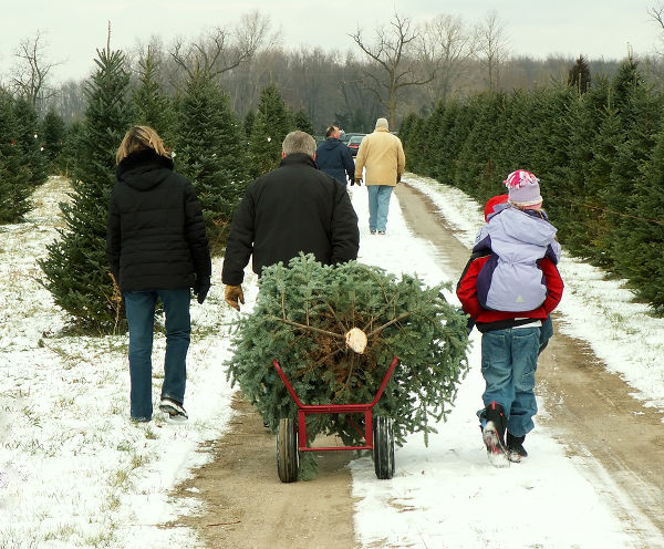 family pulling their freshly cut christmas tree