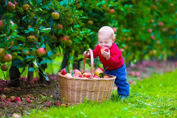 Child picking apples on a farm