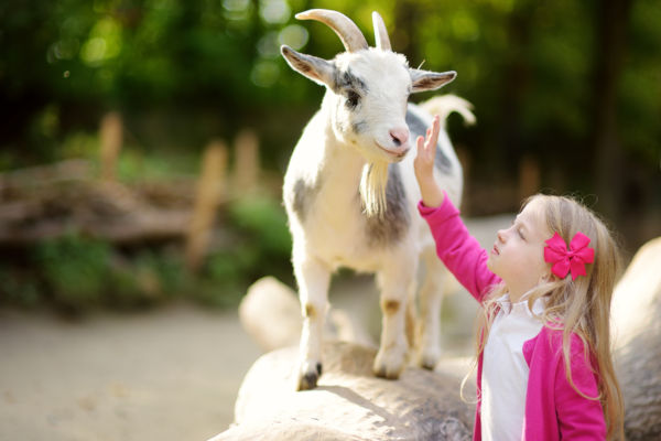 Cute Little Girl Petting And Feeding A Goat At Petting Zoo.