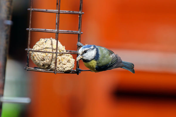 A Blue Tit Feeding On A Fat Ball In A Garden Feeder