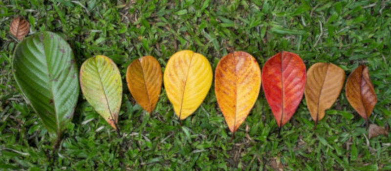 Autumn Leaf Transition And Variation Concept For Fall And Change