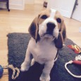 Dunder the Beagle